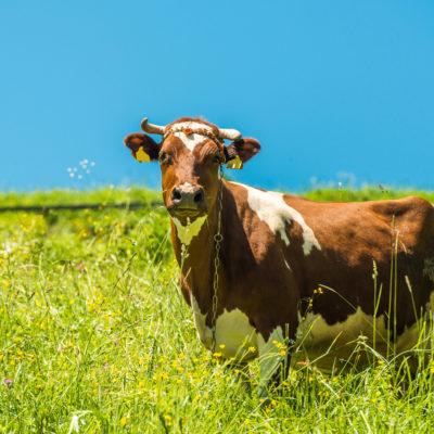 Травосмеси для молочного стада