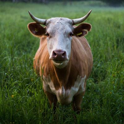 Травосмеси для мясного стада