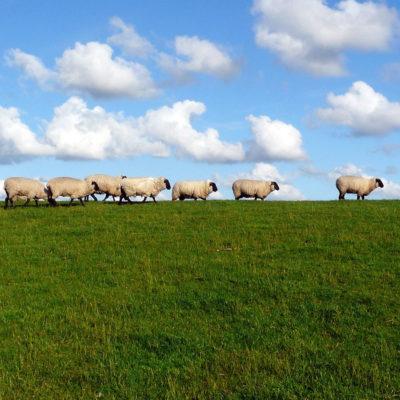 Травосмеси для выпаса овец