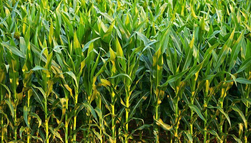 Норма высева семян кукурузы
